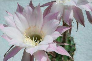 kaktus-roza